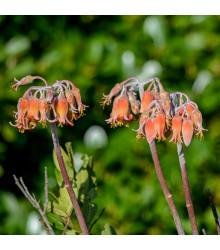 Kotyledon oranžový - Cotyledon - semena - 5 ks