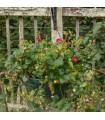 Jahodník velkoplodý Temptation - Fragaria ananassa - prodej semen jahodníku - 10 ks