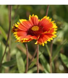 Kokarda velkokvětá - Gaillardia grandiflora - semena - 75 ks