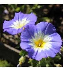 Svlačec trojbarevný Royal Ensign - Convolvulus tricolor - semena - 50 ks