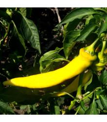 Chilli Kajenský pepř zlatý – Capsicum annuum – semena chilli – 6 ks