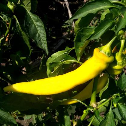 Chilli Kajenský pepř zlatý - Capsicum annuum - semena chilli - 6 ks