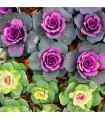 Kapusta okrasná - Brassica oleracea sabauta - semena - 50 ks