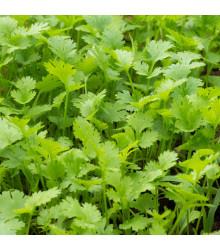 Koriandr setý Chechnya - Coriandrum sativum - semena - 100 ks
