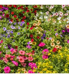 Petúnie plnokvětá směs barev - Petunia hybrida hybrida - semena - 10 ks