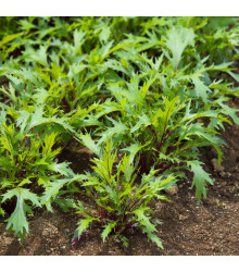 Mizuna Marshal - japonská hořčice - Brasica rapa ssp. japonica - semena mizuny - 0,02 g