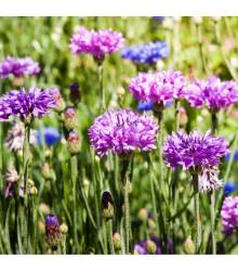 Chrpa Polka směs - Centaurea cyanus mix - semena - 120 ks