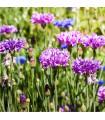 Chrpa Polka směs - Centaurea cyanus mix - semena - 0,5 gr