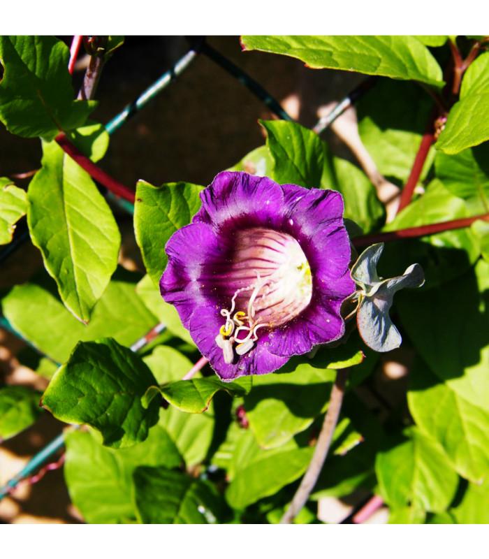 Vilec šplhavý modrý - Cobaea scandens - semena - 0,5 gr