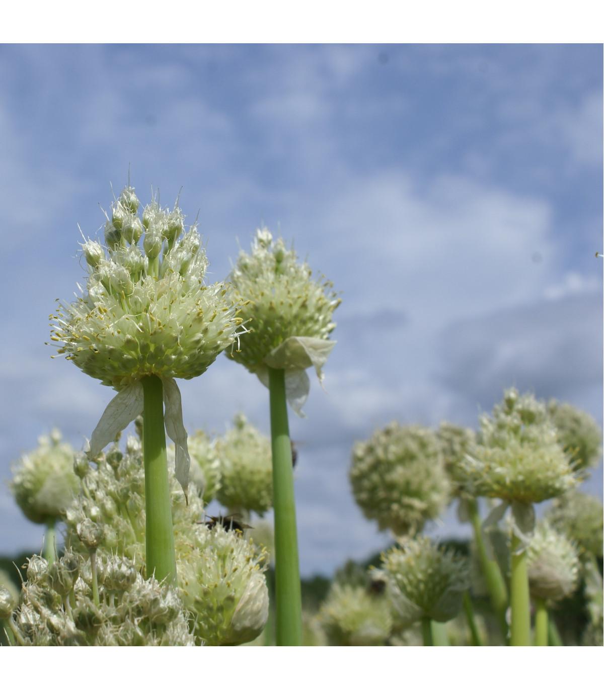 Cibule zimní - Česnek ošlejch - Allium fistulosum - semena - 120 ks
