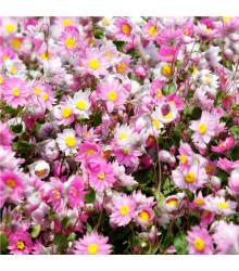 Časovka suchomážditá - Rhodanthe manglesii - semena - 100 ks