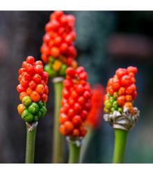 Áron červený - Arum italicum - cibuloviny - 2 ks