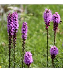 Šuškarda fialová - Liatris spicata - cibule šuškardy - 5 ks
