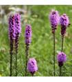 Šuškarda fialová - Liatris spicata - cibuloviny - 5 ks