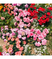 Hvozdík trpaslíčí mix barev - Dianthus caryophyllus - semena - 130 ks