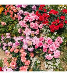Hvozdík trpaslíčí - Mix barev - Dianthus caryophyllus - semena Hvozdíku - 130 ks