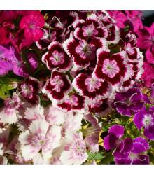 Hvozdík bradatý plnokvětý směs barev - Dianthus barbatus - semena - 250 ks