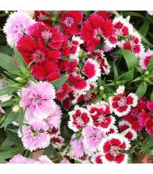 Hvozdík jednoduchý směs - Dianthus barbatus - semena - 300 ks