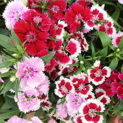 Hvozdík jednoduchý směs - Dianthus barbatus - semena - 250 ks