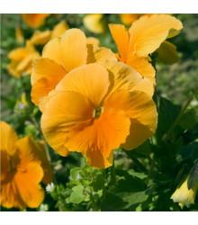 Maceška Padparadja F2 - Viola wittrockiana - semena - 30 ks