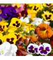Maceška Hiemalis směs barev - Viola wittrockiana - prodej semen macešek - 0,3 gr