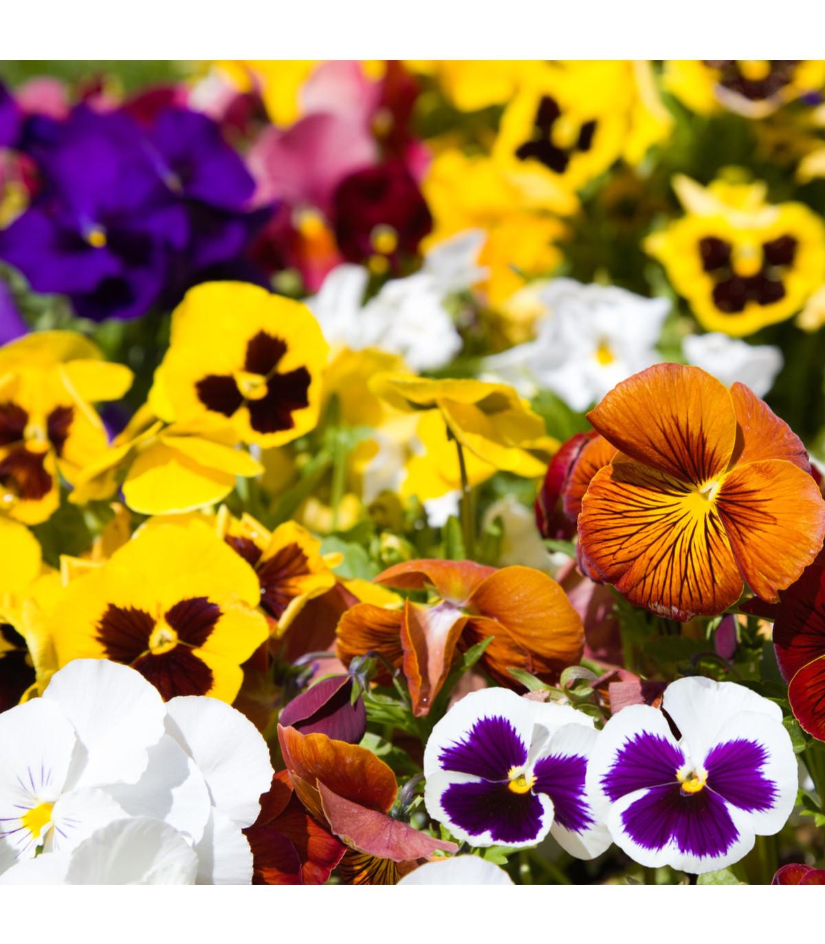 Maceška Hiemalis směs barev - Viola wittrockiana - semena - 200 ks