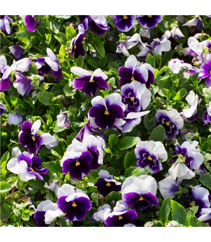 Maceška Hiemalis modrobílá - Viola wittrockiana - prodej semen macešek - 0,3 gr