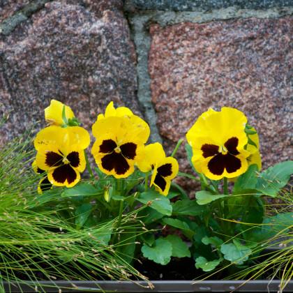 Maceška Schweizer Riesen Goldgelb - Viola wittrockiana - semena - 200 ks