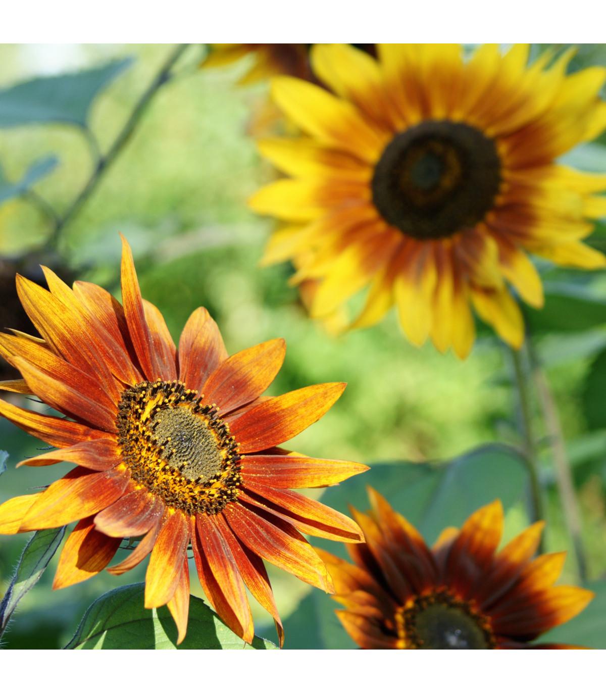 Slunečnice roční F1 Fantazie - Helianthus annuus - semena - 6 ks