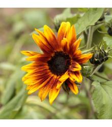 Slunečnice roční Helios - Helianthus annuus - semena - 7 ks