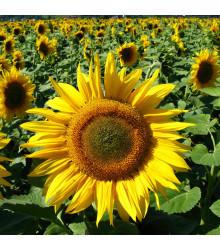 Slunečnice žlutá obří - Helianthus annuus - semena - 8 Ks