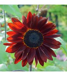Slunečnice roční F1 červená - Helianthus annuus - semena - 6 ks