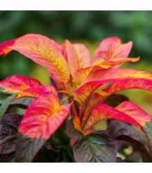Laskavec tricolor - Amaranthus tricolor - semena - 0,2 gr