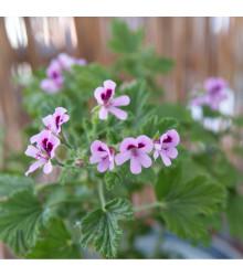 Pelargonie vonná Attar of Roses - Pelargonium capitatum - semena - 4 ks
