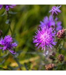 chrpa luční - Centaurea jacea