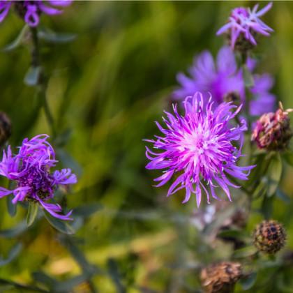 Chrpa luční - Centaurea jacea - semena - 200 ks