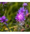Chrpa luční - Centaurea jacea - semena - 0,3 gr