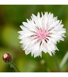 Chrpa luční růžová - Centaurea cyanus - semena - 65 ks