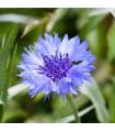 Chrpa modrá - Centaurea cyanus - semena - 30 ks