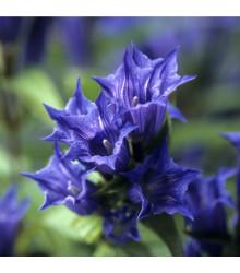 Hořec tolitovitý - Gentiana asclepiadea - semena - 10 ks