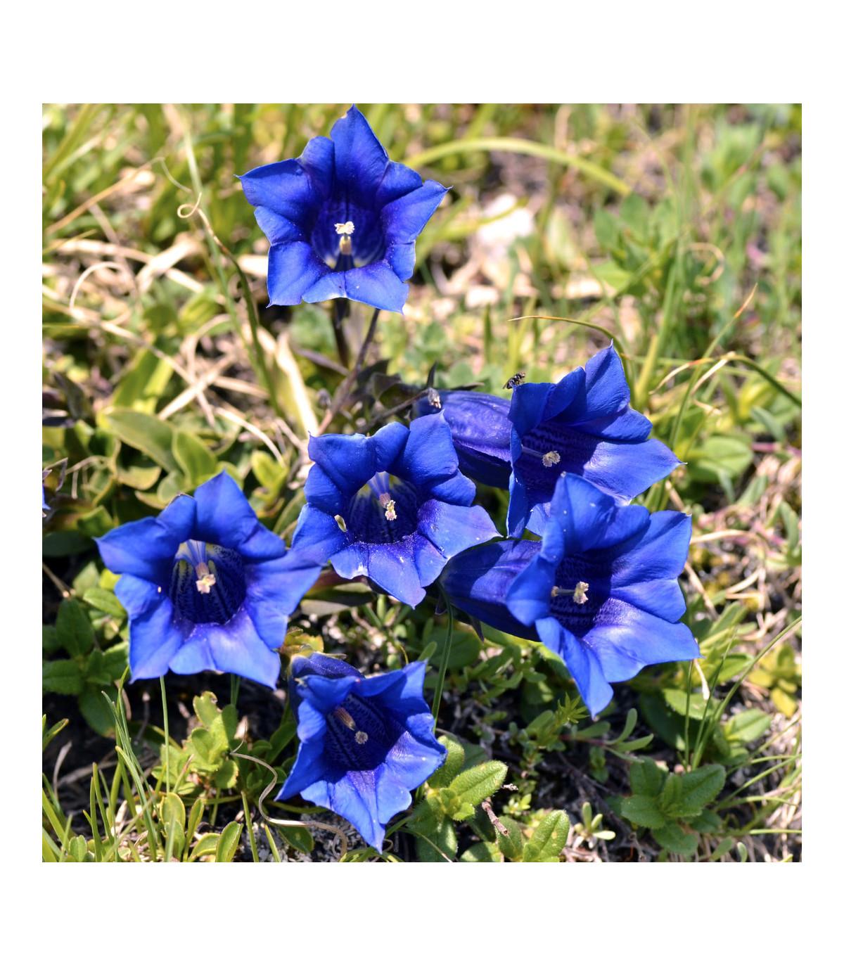 Hořec bezlodyžný - Gentiana acaulis - semena - 8 ks