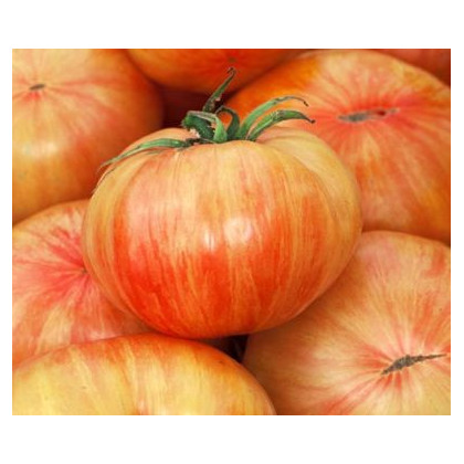 Rajče Copia- semena Rajčete- 7 ks