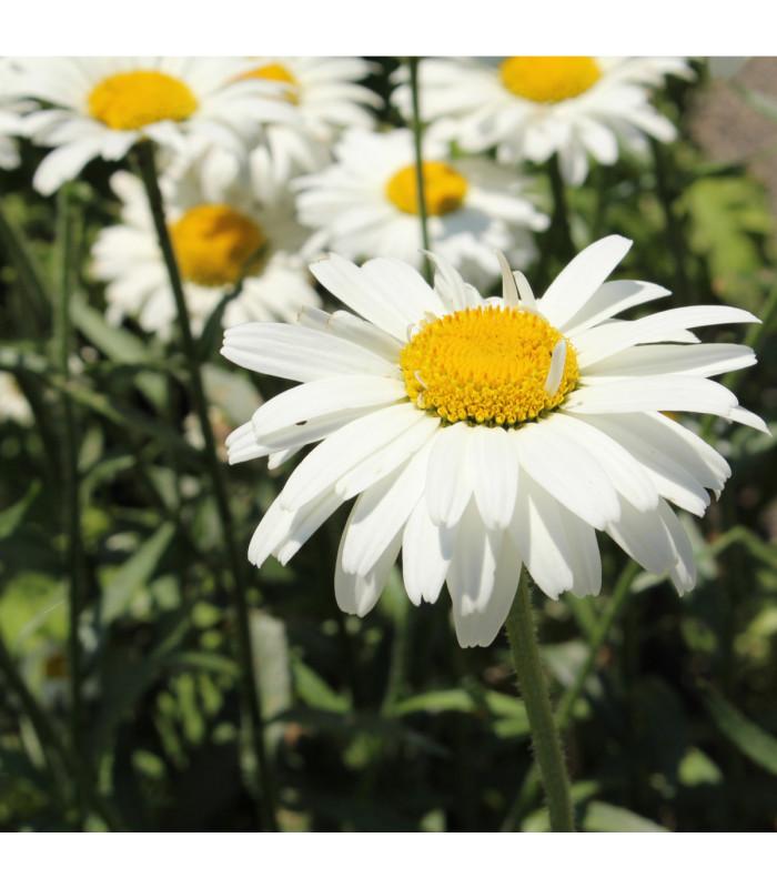 Kopretina bílá Alaska - Chrysanthemum leucanthemum max.- semena - 0,4 gr