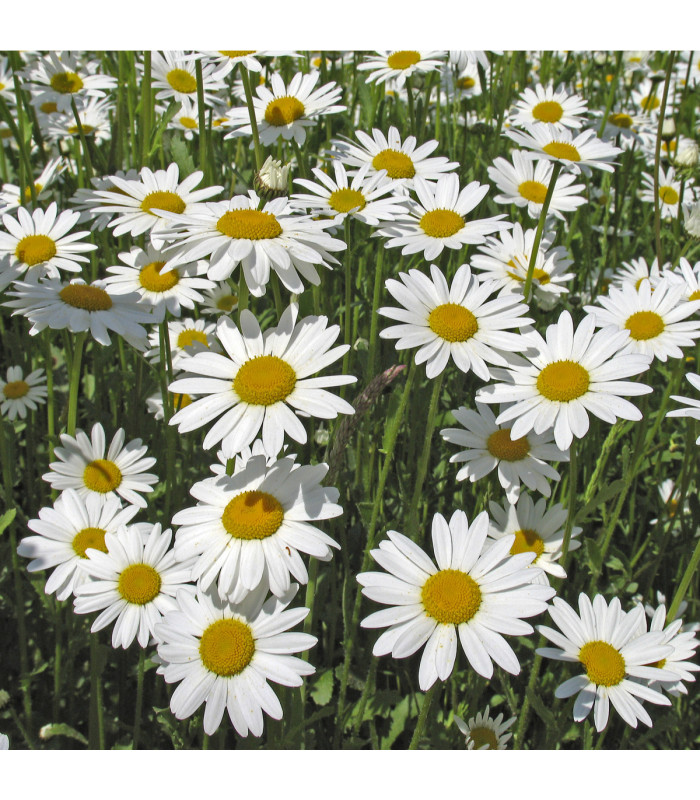 Kopretina bílá Královna - Chrysanthemum leucanthemum max.- semena - 0,4 gr