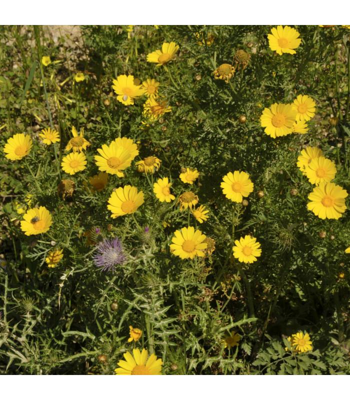 Kopretina osenní Helios - chrysanthemum segetum - semena - 0,3 gr