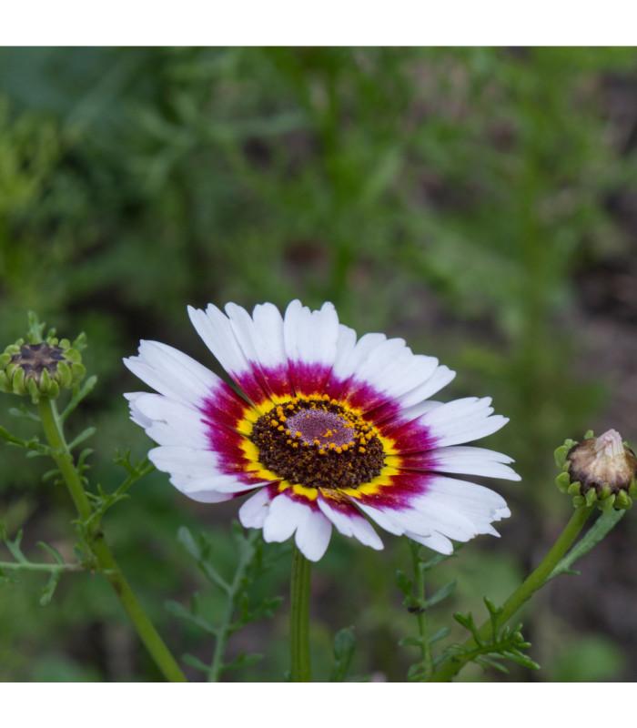 Kopretina kylnatá směs - chrysanthemum carinatum mix - semena - 0,3 g