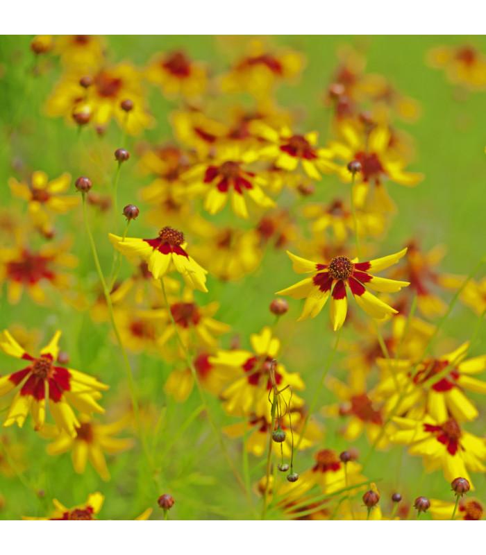 Krásnoočko dvoubarevné nízké - Coreopsis tinctoria - semena - 50 ks
