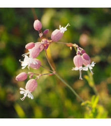 Silenka nadmutá - Silene vulgaris - semena - 0,5 g