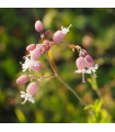 Silenka nadmutá - Silene vulgaris - semena - 0,5 gr