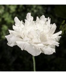 Mák setý bílý - Papaver paeoniflorum - semena - 0,1 gr
